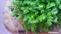 Plant Pick: Herniaria glabra - It's Drought Tolerant | The ...