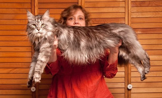 stewie_longest_cat