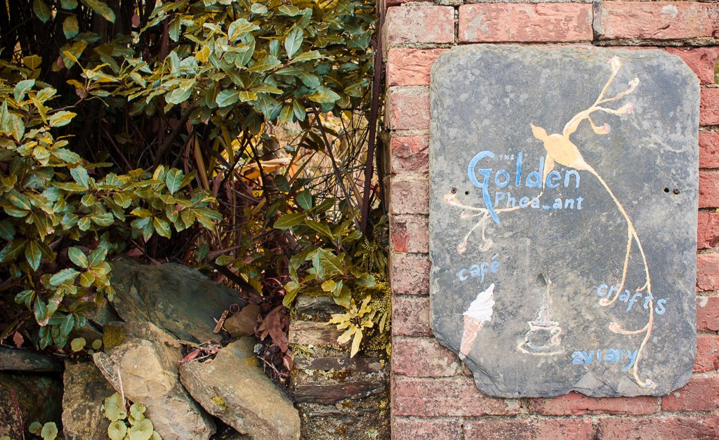 the golden pheasant in Courtmacsherry, Ireland