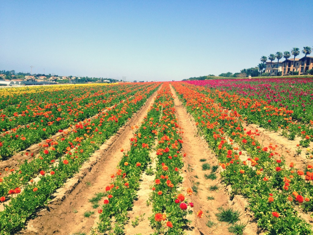 Flower Fields in Carlsbad, San Diego