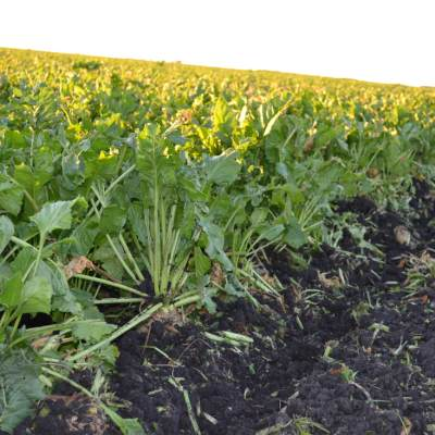 All About Sugar Beets