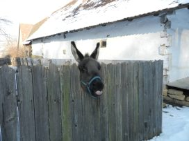 A rude donkey, Ethnographic Park, Cluj-Napoca