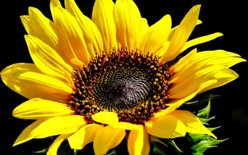 sunflowers_sunflower_yellow_flower_q_1920x1200