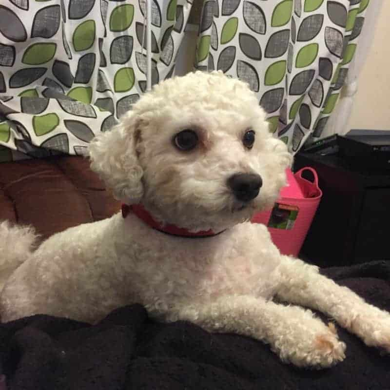 Bichon Dog