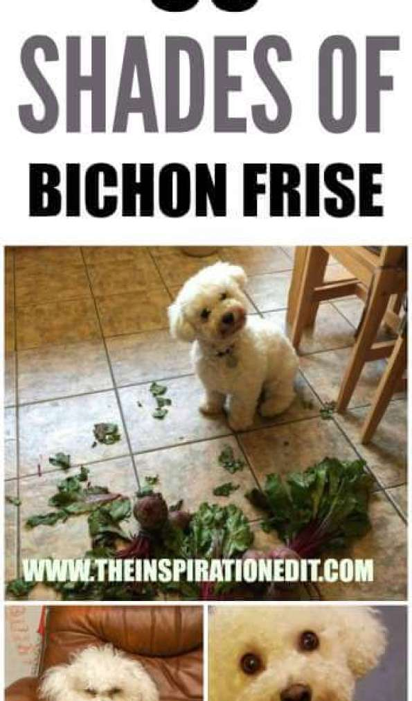 Funny and Lovely Photos of Cheeky Bichon Frise Dogs To Make your heart melt
