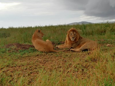 Zanzibar lions