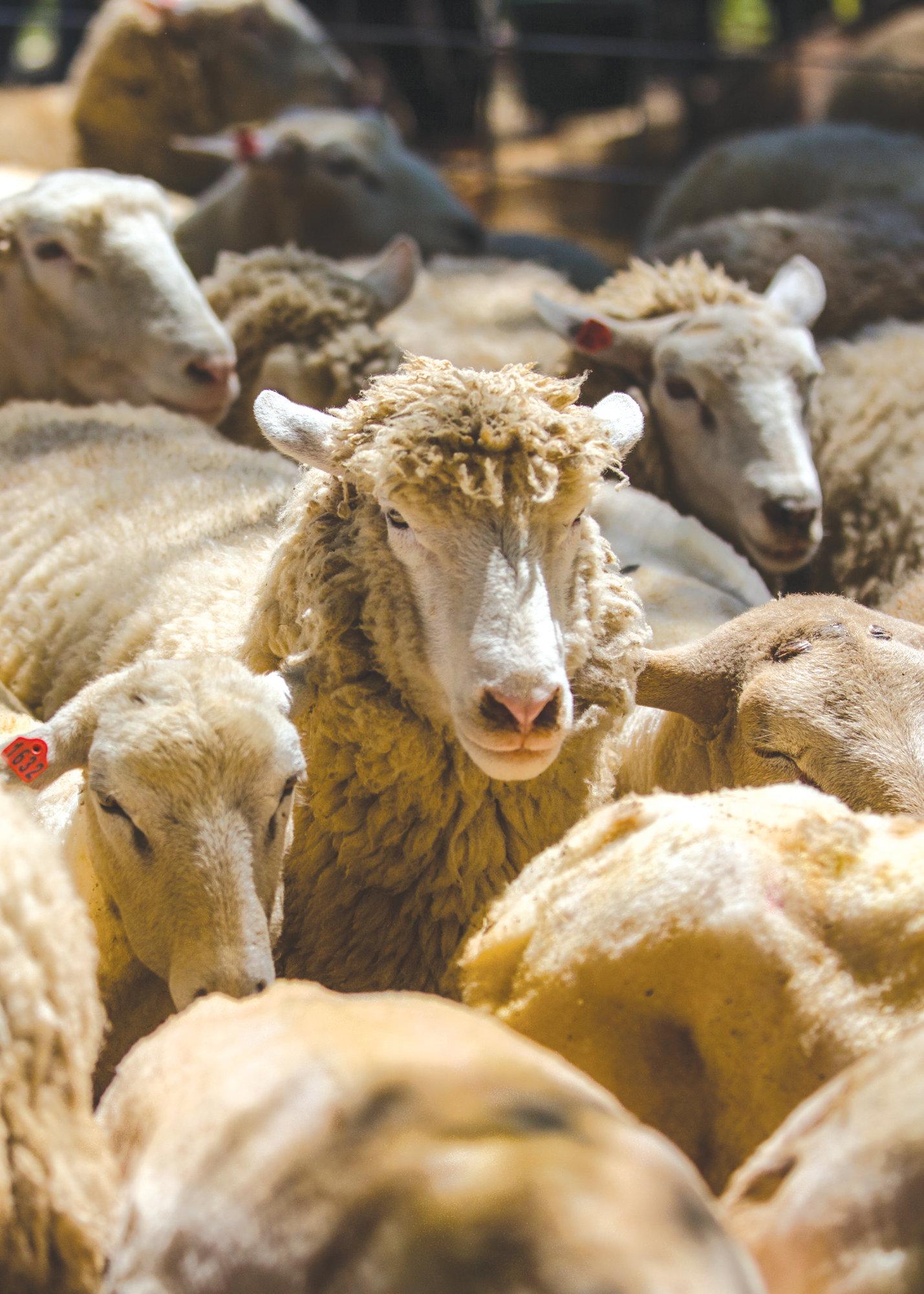 Enjoy daily farm life at Sheep Shearing Farm Day at Old McCaskill's Farm in Rembert | The Sumter Item