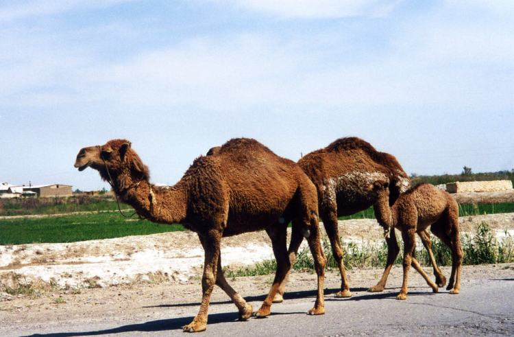 Turkmenistan - Camel Family