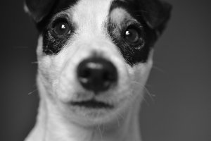 10 Accurate Jack Russell facts owners know all too well