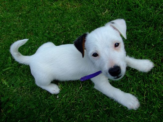 How to train a Jack Russell puppy