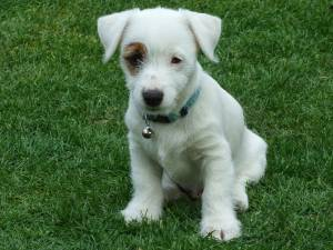 Jack Russell Puppy Sit Command