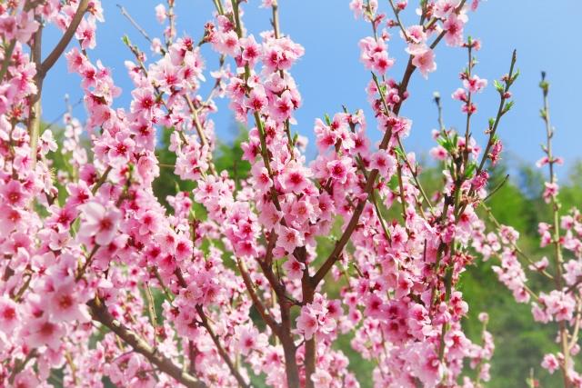 Hanakotoba, un fiore per ogni giorno: Marzo! - The Japanese Dreams