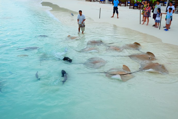 Stingray Feeding Maldives