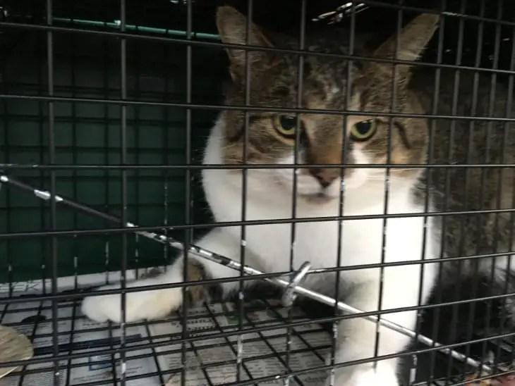 male cat in humane live trap