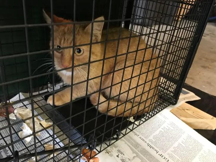 Cat Sarah, in a humane live trap