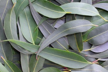 Natural First Aid Kit, part 2: Eucalyptus