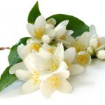 Properties and uses of Jasmine Essential Oil