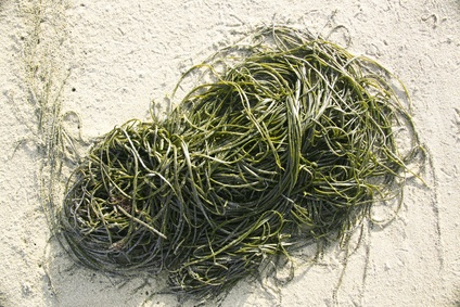 Seaweed: a rich source of nutrients