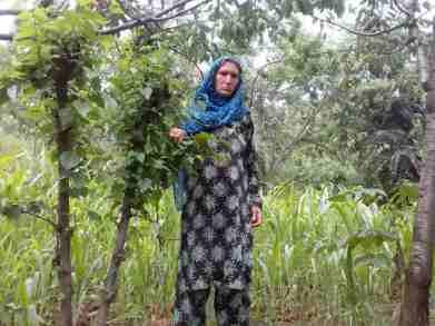 WOmen in Kashmir, kashmir silk, kashmir mulberry trees, mulberry trees, malik noor,