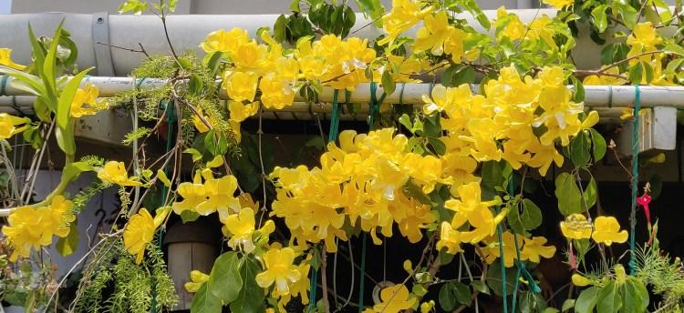 Jayashree Rajan's garden apartment tour on The Keybunch: flower bloom in terrace garden