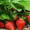 Strawberry-Plant