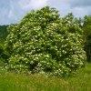 elderberry-plant