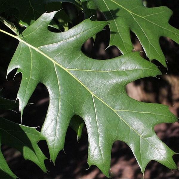 red-oak-tree-02