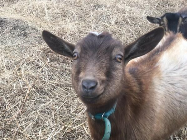 Goats-01
