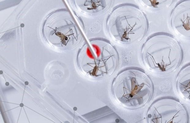 Genetically modified mosquitos created to resist parasites that transmit malaria (Photo Courtesy of Shutterstock).