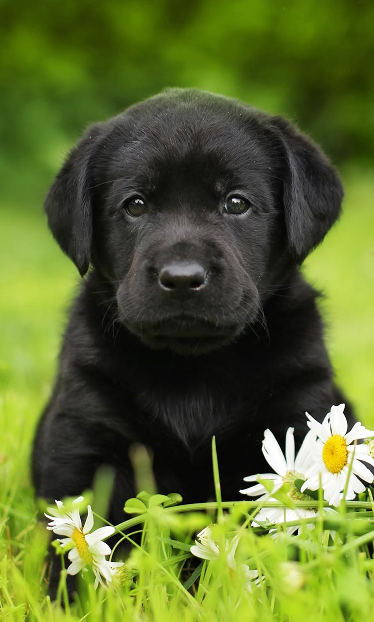 Image result for black labs