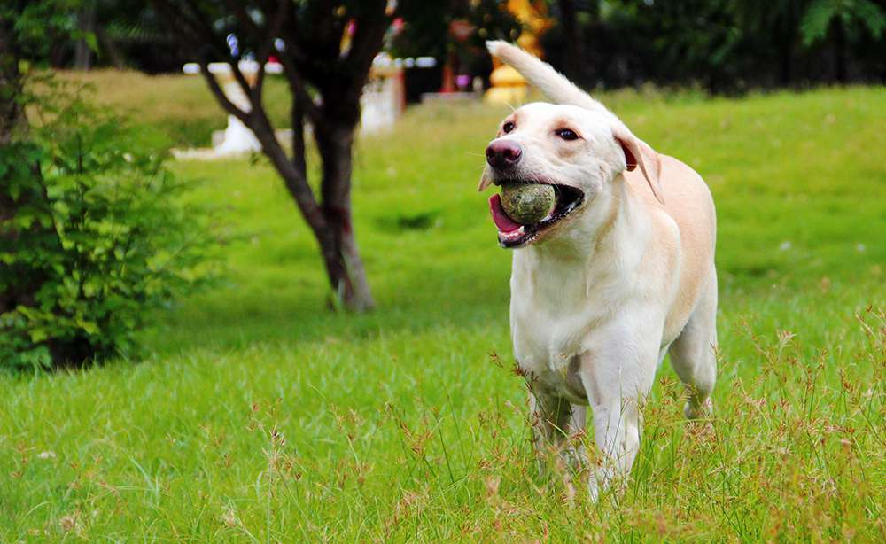 yellow lab your guide