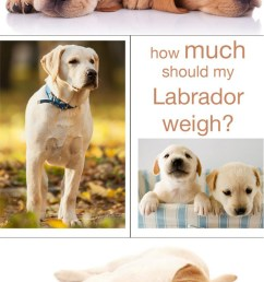 how much should a labrador weigh we explain how to make sure your lab is [ 800 x 1362 Pixel ]