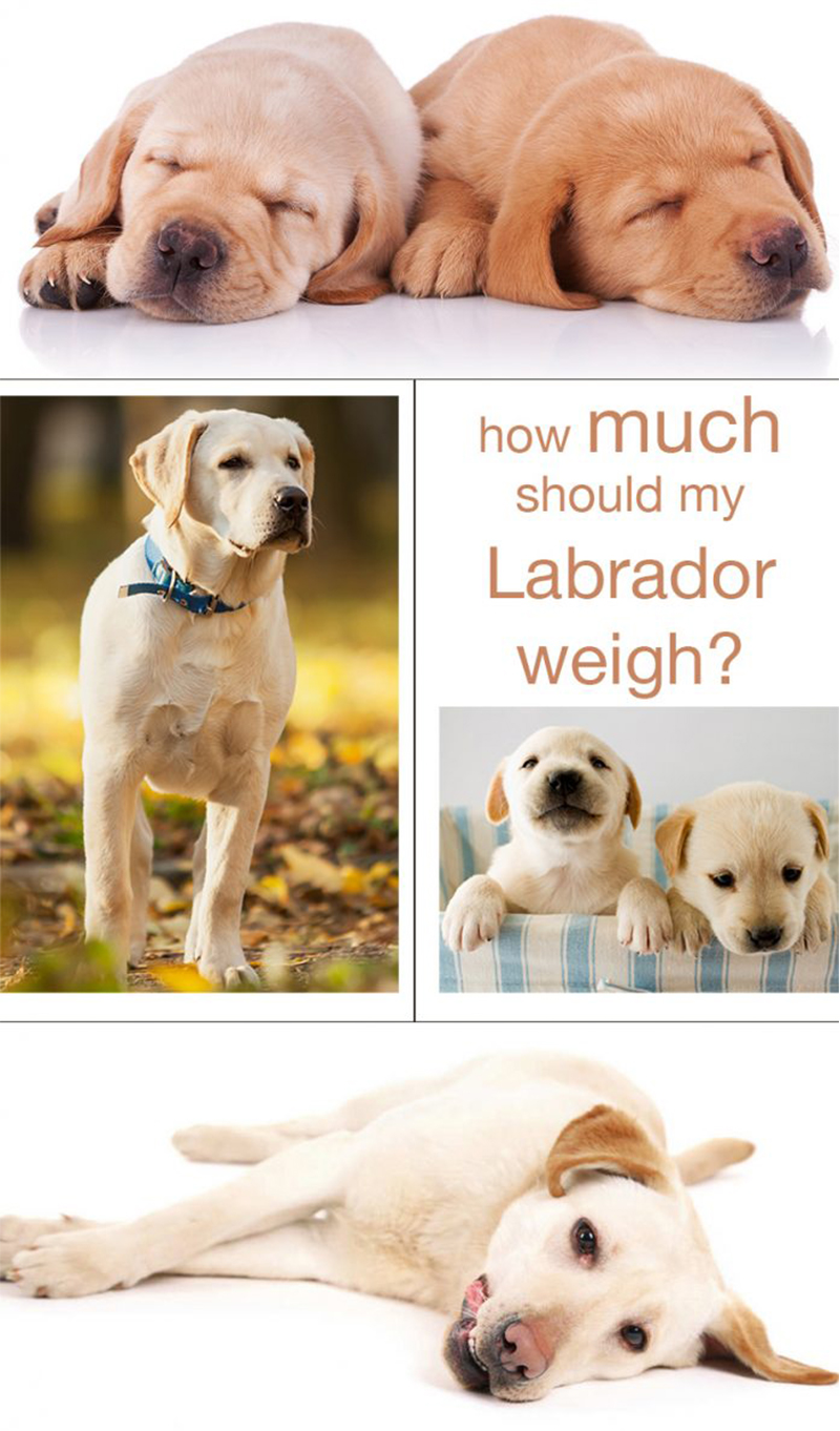 hight resolution of how much should a labrador weigh we explain how to make sure your lab is