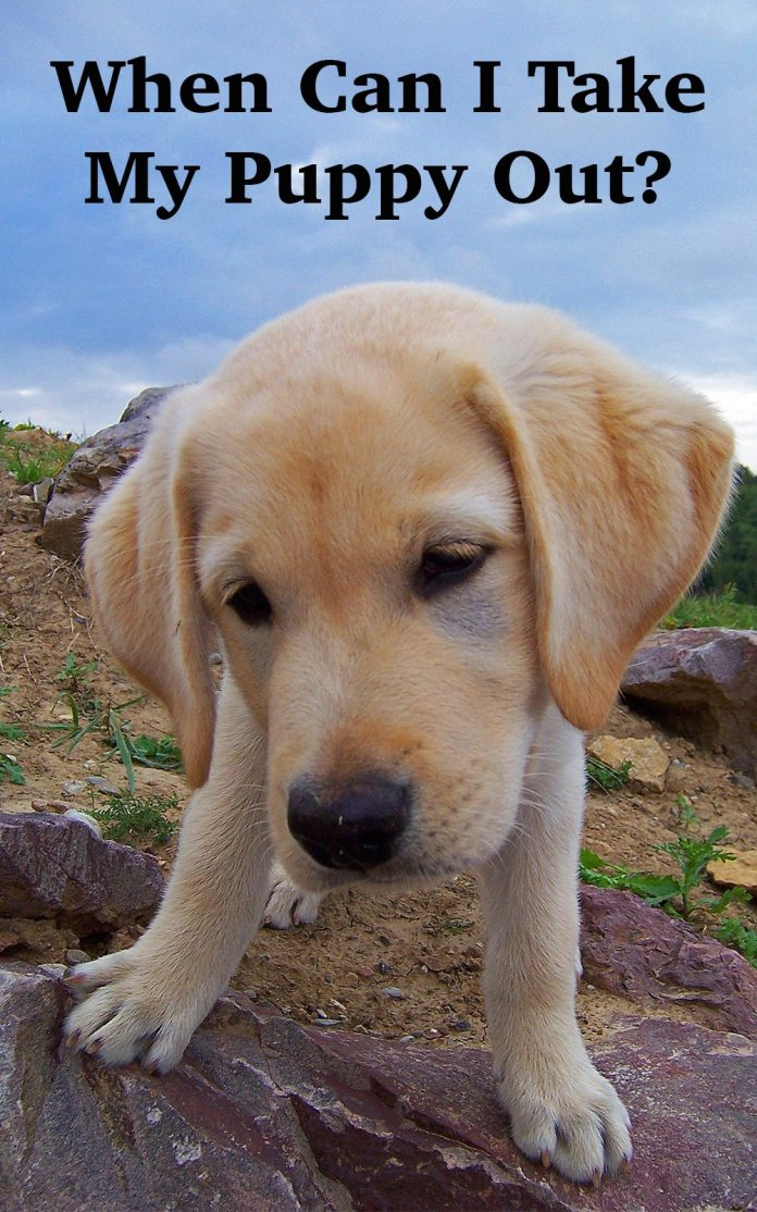 When Can I Take My Puppy Out  The Labrador Site