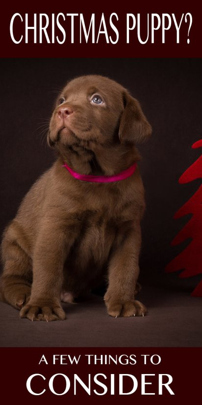Some things to consider if you are hoping to bring a puppy home this Christmas