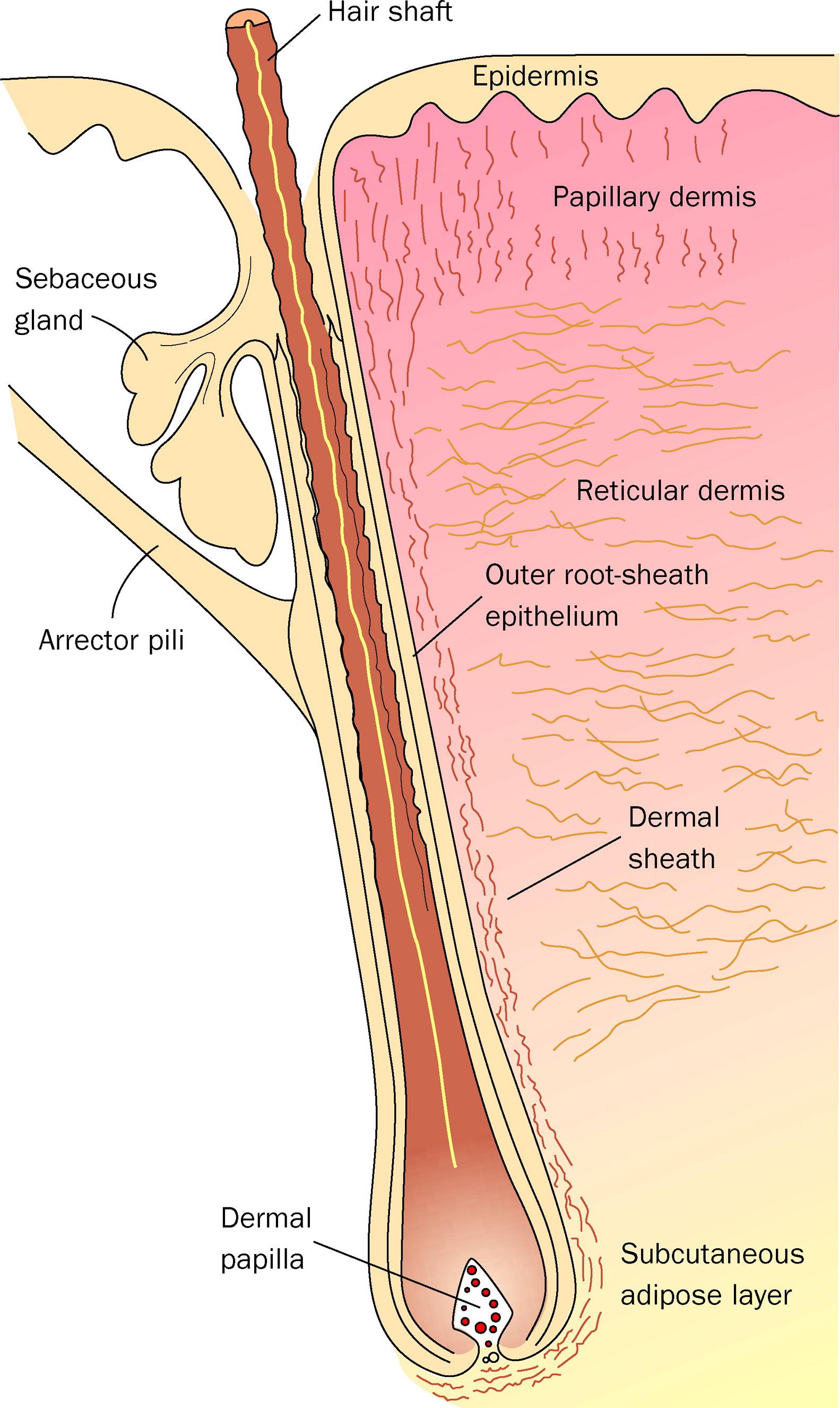 Hair Follicle Dermal Sheath Cells Unsung Participants In Wound Healing