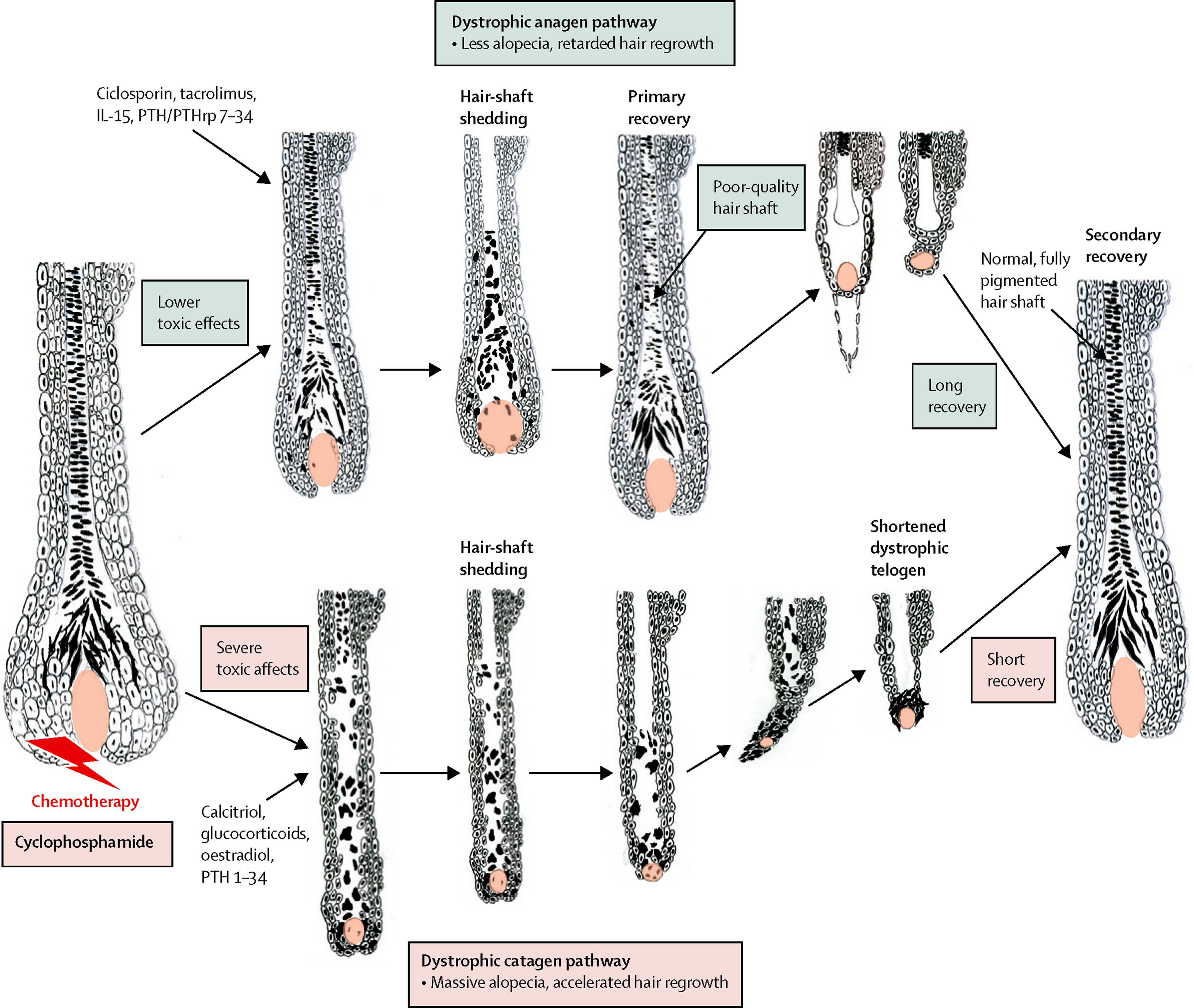 Pathobiology Of Chemotherapy Induced Hair Loss