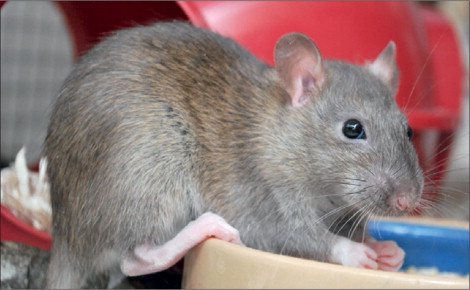 UK hantavirus, renal failure, and pet rats - The Lancet