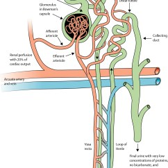 Kidney Nephron Structure Diagram 1999 Ford Explorer Front Suspension Evolving Importance Of Disease From Subspecialty