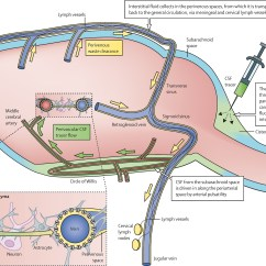 Lymph Circulation Diagram Marathon Motor Wiring Implications Of The Discovery Brain Lymphatic Pathways
