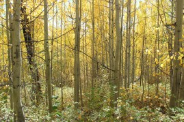 IMG_1922 aspen trees in autumn