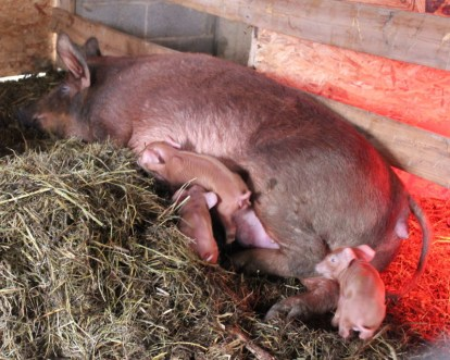 IMG_0845 - Pebbles and her litter Spring 2015; hogs pork pigs for sale
