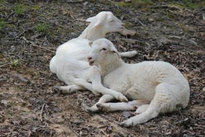 IMG_1206 raising hair sheep