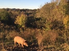 fall foriaging_pastured pigs_pork for sale_acorn finished_Jackson Station Livestock Co