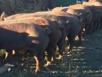 raising pastured pork_feed time_cute curly tail pigs_Jackson Station Livestock