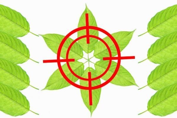 Image result for FDA, DEA LAUNCH MASSIVE ASSAULT ON KRATOM – DRUG WAR FOR MIRACLE PLANT RAMPING UP