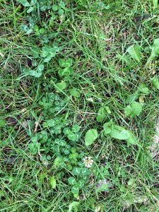 patch of clover with four leaf clover