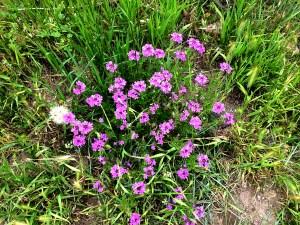 purple delicates