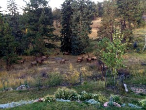 elk in the backyard