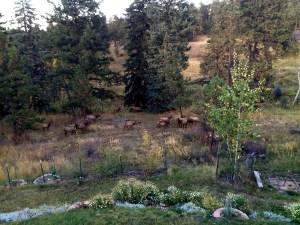 elk in the backyard